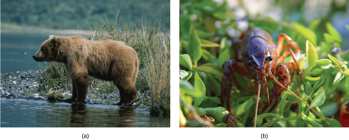 Top photo shows a bear. Bottom photo shows a crayfish.