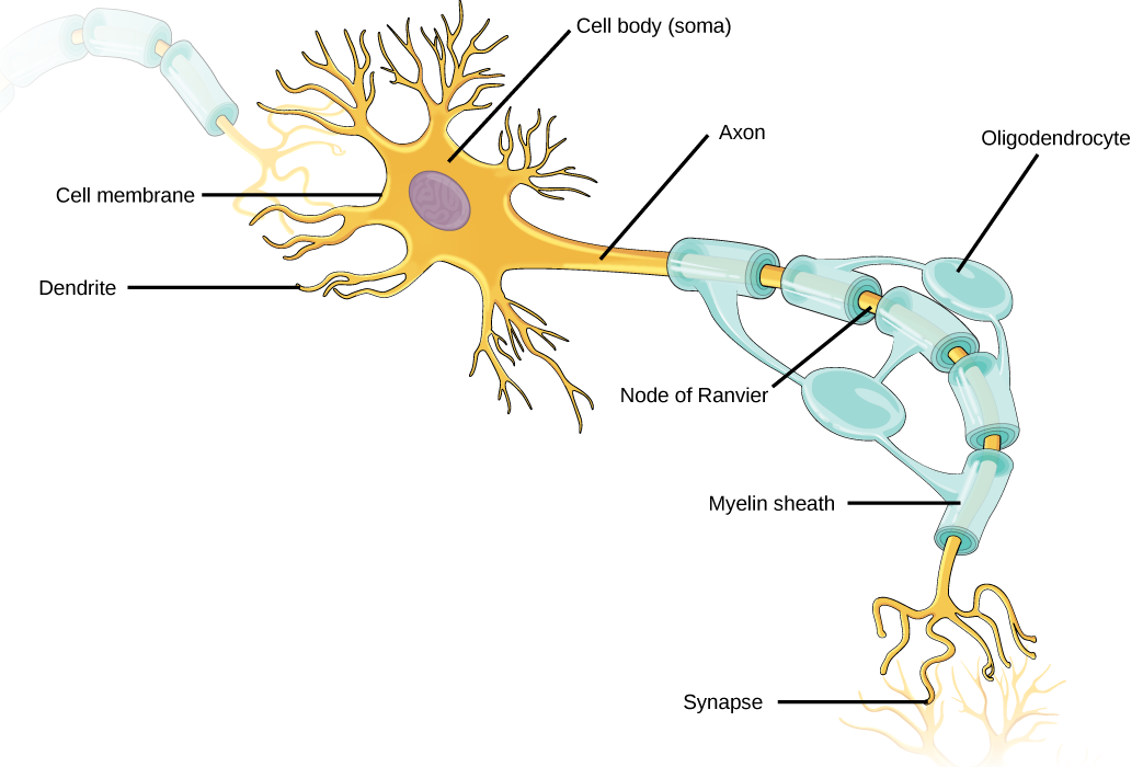 Biology animal structure and function the nervous system for What is motor neuron
