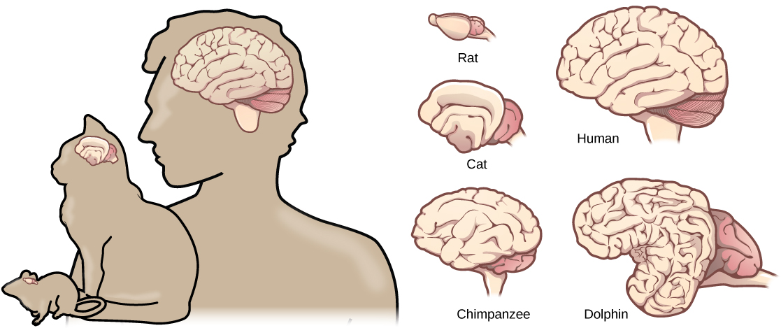 Biology animal structure and function the nervous system the illustrations shows that brains increase in size and amount of cortical folding from rat to cat mammals ccuart Image collections