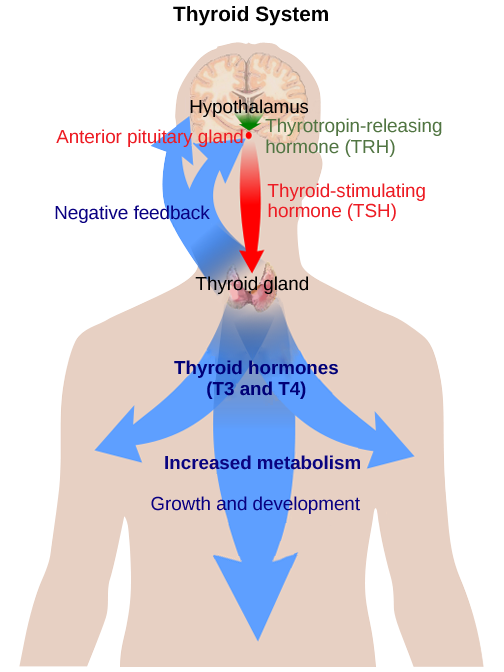 The hypothalamus secretes thyrotropin-releasing hormone, which causes the anterior pituitary gland to secrete thyroid-stimulating hormone. Thyroid-stimulating hormone causes the thyroid gland to secrete the thyroid hormones T3 and T4, which increase metabolism, resulting in growth and development. In a negative feedback loop, T3 and T4 inhibit hormone secretion by the hypothalamus and pituitary, terminating the signal.
