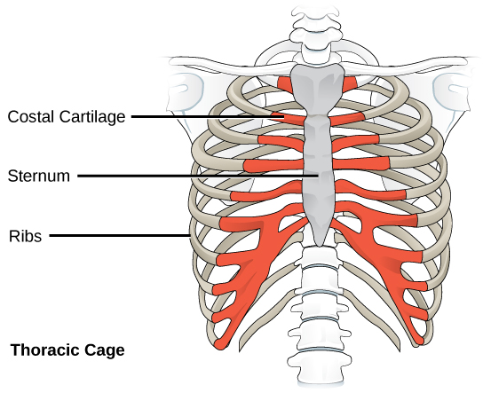 Illustration shows the rib cage and the sternum, which is the bone in the front and center of the upper body. The rib bones, which end about three quarters of the way around the body, do not connect directly to the sternum; instead, costal cartilage connects the rib bones to the sternum.
