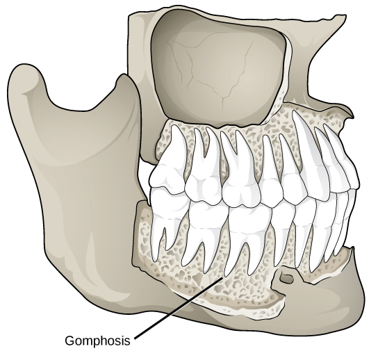 Illustration shows a gomphosis connecting a tooth to the jaw. The gomphoses have a porous appearance.