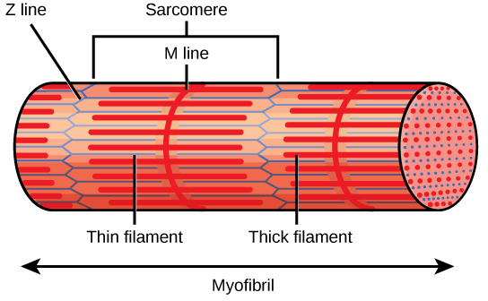 Illustration shows part of a tubular myofibril, which consists of many sarcomeres. Zigzagging lines, called Z lines, run perpendicular to the fiber. Each sarcomere starts at one Z line and ends at the next. A straight perpendicular line, called an M line, exists halfway between each Z line. Thick filaments extend out from the M lines, parallel to the length of the myofibril. Thin filaments extend from the Z lines, and extend into the space between the thick filaments.