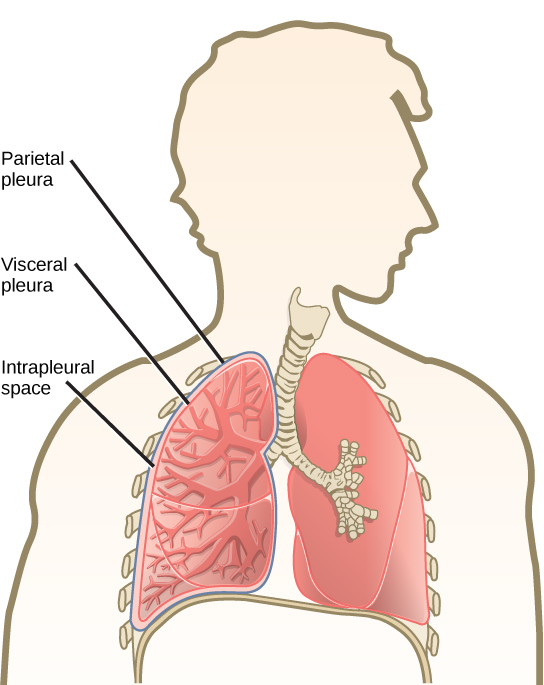 The illustration shows human lungs. Each lung is covered by an inner visceral pleura and an outer parietal pleura. The intrapleural space is the space between the two membranes.