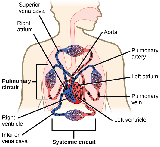 Biology animal structure and function the circulatory system illustration shows blood circulation through the mammalian systemic and pulmonary circuits blood enters the left ccuart Gallery