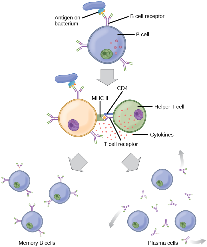 Illustration shows activation of a B cell. An antigen on the surface of a bacterium binds the B cell receptor. The antigen engulfs the antigen, and presents an epitope on its surface in conjunction with a MHC II receptor. A T cell receptor and CD4 molecule on the surface of a helper T cell recognize the epitope–MHC II complex and activate the B cell. The B cell divides and turns into memory B cells and plasma cells. Memory B cells present antigen on their surface. Plasma B cells excrete antigen.