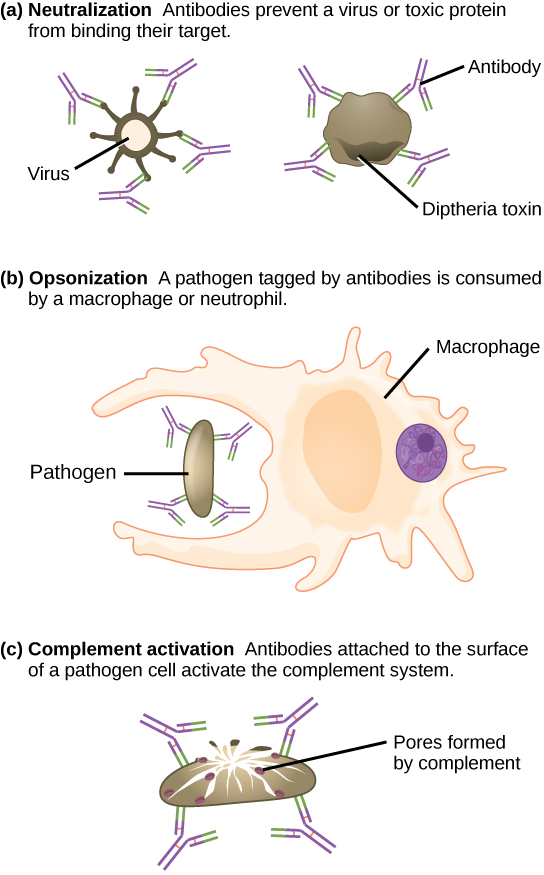 Part A shows antibody neutralization. Antibodies coat the surface of a virus or toxic protein, such as the diphtheria toxin, and prevent them from binding to their target. Part B shows opsonization, a process by which a pathogen coated with antigens is consumed by a macrophage or neutrophil. Part C shows complement activation. Antibodies attached to the surface of a pathogen cell activate the complement system. Pores are formed in the cell membrane, destroying the cell.
