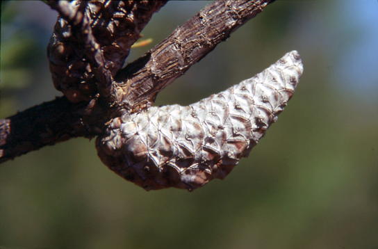 Photo shows two pine cones that are tightly closed and attached to a branch.
