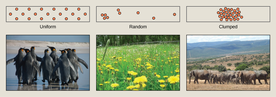 Photo (a) shows penguins, which maintain a defined territory and therefore have a uniform distribution. Photo (b) shows a field of dandelions whose seeds are dispersed by wind, resulting in a random distribution patter. Photo (c) shows elephants, which travel in herds resulting in a clumped distribution pattern.