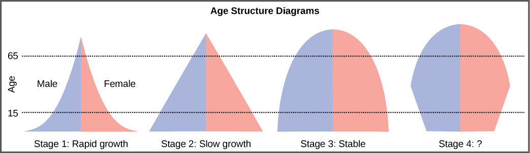 For the four different age structure diagrams shown, the base represents birth and the apex occurs around age 70. The age structure diagram for stage 1, rapid growth, is shaped like a deflated triangle that starts out wide at the base and rapidly decreases to a narrow apex, indicating that the number of individuals decreases rapidly with age. The age structure diagram for stage 2, slow growth, is triangular in shape, indicating that the number of individuals decreases steadily with age. The age structure diagram for stage 3, stable growth, is rounded at the top, indicating that the number of individuals per age group decreases gradually at first, then increases for the older portion of the population. The final age structure diagram, stage 4, widens from the base to middle age, and then narrows to a rounded top. The population type indicated by this diagram is not given, as this is part of the art connection question.