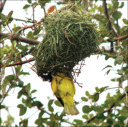 Photo shows a yellow bird building a nest in a tree.