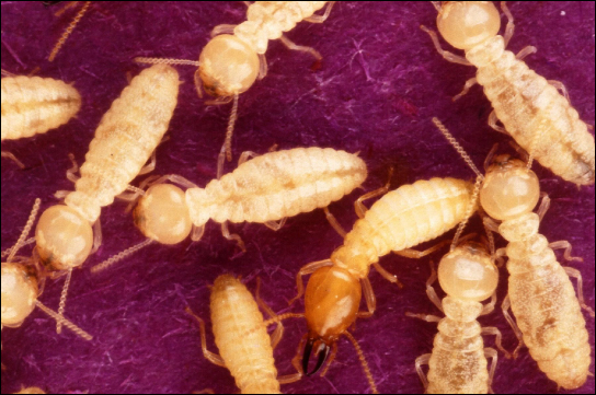 Photo (a) shows yellow termites and photo.