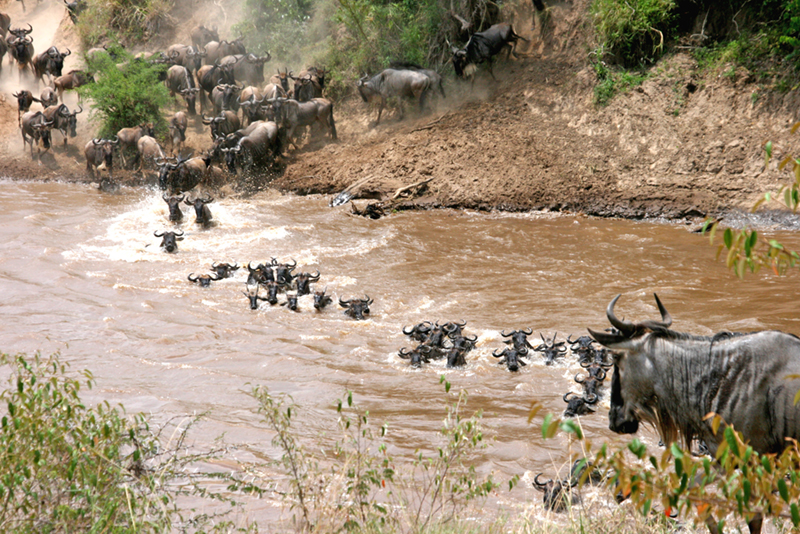 Photo shows a heard of wildebeests crossing a river.