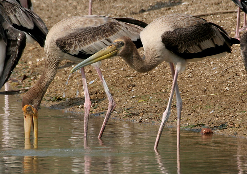 Photo shows long-legged storks standing in water.