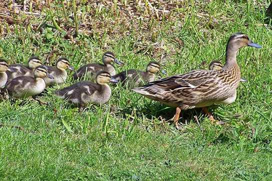 Photo shows a mother duck and ducklings swimming in the water.
