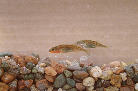 Photo shows two small fish swimming above a rocky bottom.