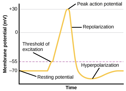 A graph shows the increase, peak, and decrease in membrane potential. The millivolts through the phases are approximately -70mV at resting potential, -55mV at threshold of excitation, 30mV at peak action potential, 5mV at repolarization, and -80mV at hyperpolarization.