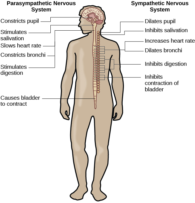 Psychology biopsychology parts of the nervous system oer commons a diagram of a human body lists the different functions of the sympathetic and parasympathetic nervous ccuart