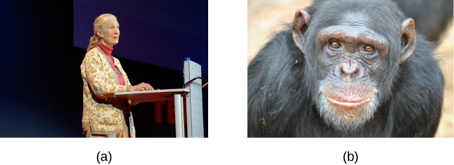 (a) A photograph shows Jane Goodall speaking from a lectern. (b) A photograph shows a chimpanzee's face.