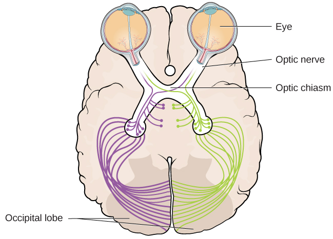 An illustration shows the location of the occipital lobe, optic chiasm, optic nerve, and the eyes in relation to their position in the brain and head.
