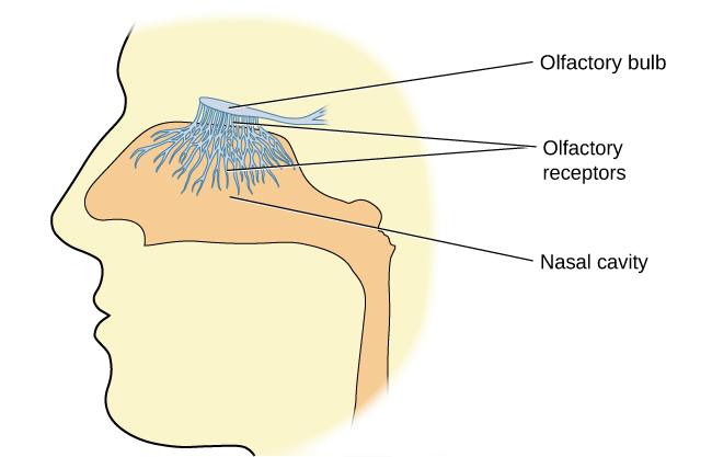 "An illustration shows a side view of a human head and the location of the ""nasal cavity,"" ""olfactory receptors,"" and ""olfactory bulb."""