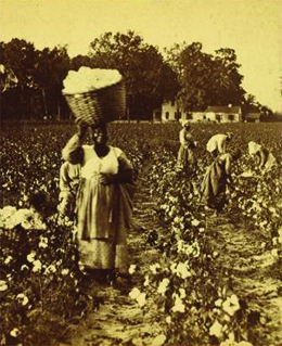 A photograph shows black men and women harvesting cotton in a field. In the foreground, a woman holds a large basket of cotton on her head. A large house is visible in the background.