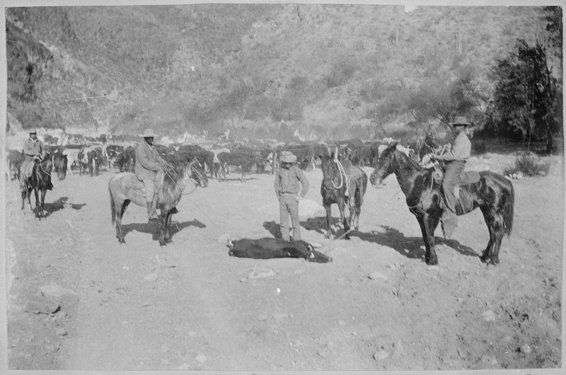 """""""Cattle Round Up."""" Close view of a steer downed for branding, ca. 1896--99, Arizona Territory. Author unknown (U.S. National Archives and Records Administration) [Public domain], via Wikimedia Commons"""
