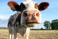 mean cow