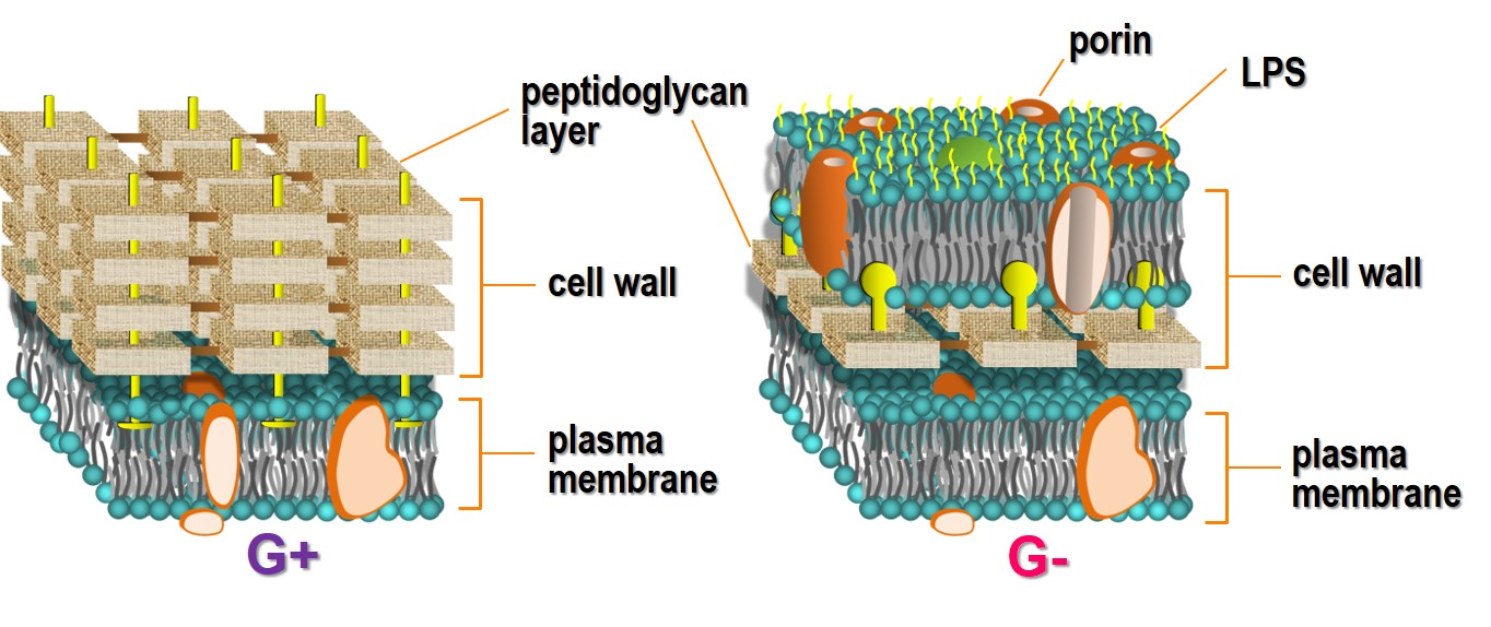 cell wall of Gram-positive and Gram-negative bacteria