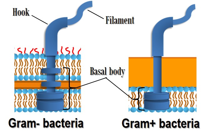 Flagella of Gram-positive and Gram-negative eubacteria