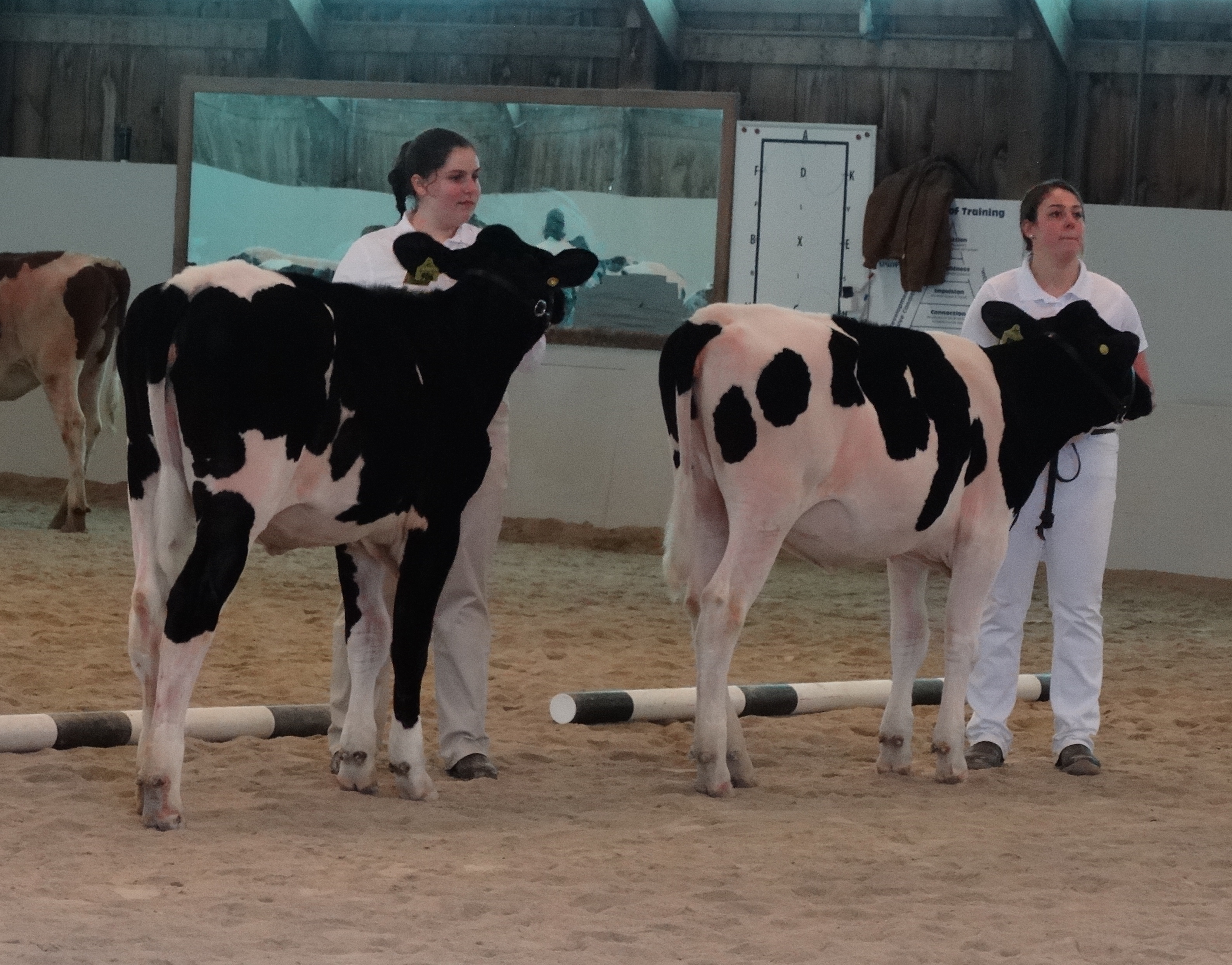 Using the above criteria, it should be obvious there are differences in stature, angularity and dairyness in these two heifers. The heifer in the rear is taller, has more incurving thighs and is sharper or more angular over the topline,.