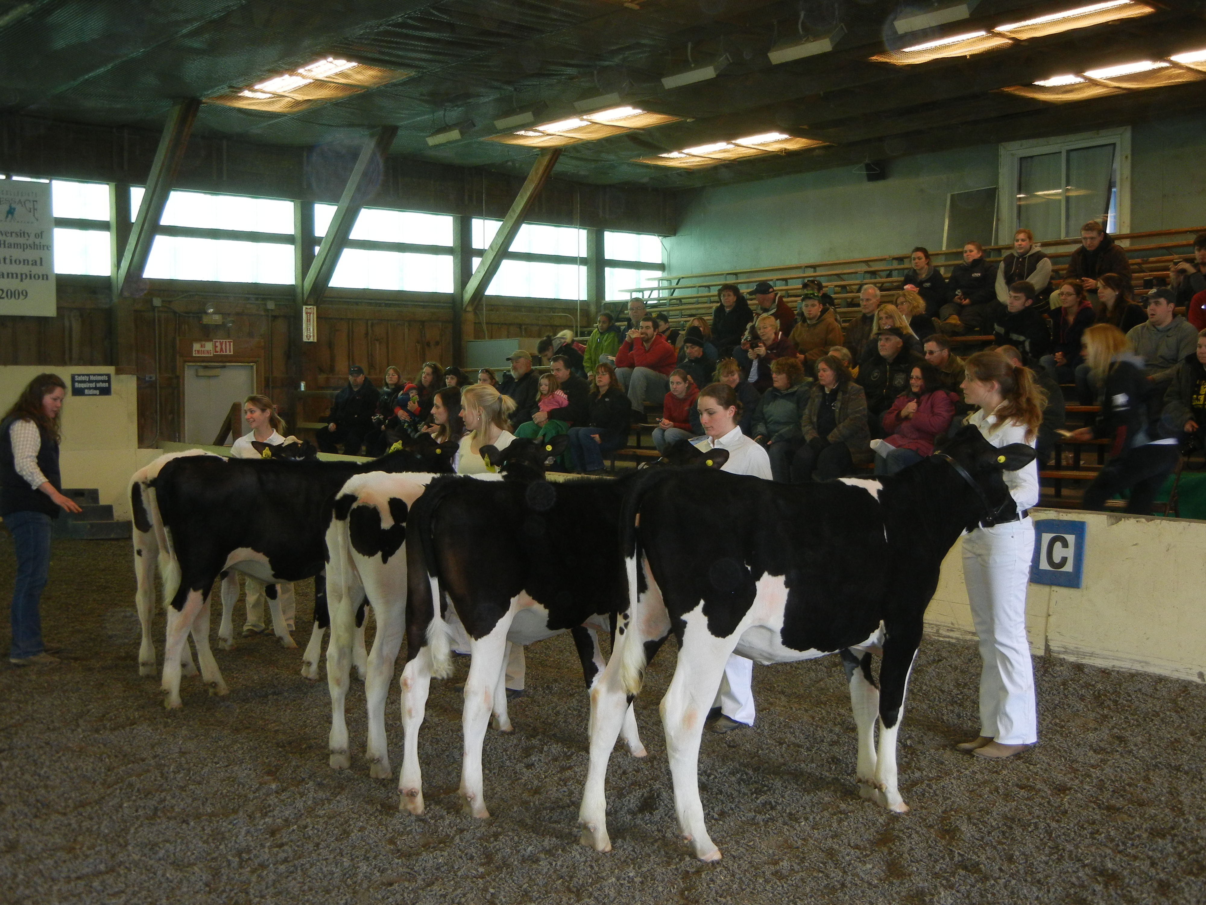 Dairy heifers being shown at the UNH Little Royal