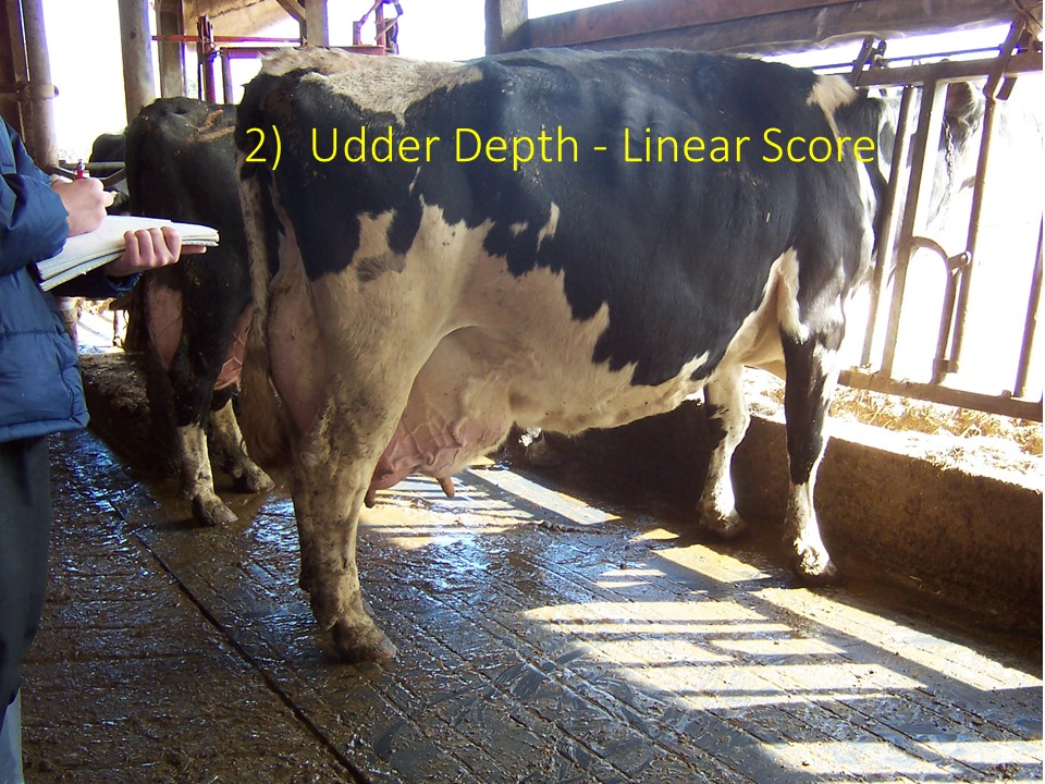 Practicing Linear Scoring on this cow