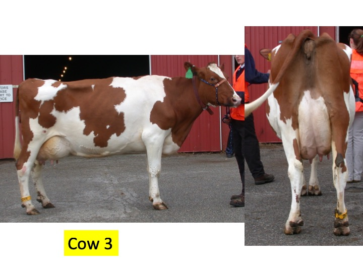 Evaluate this cow compared to the other 3 cows in the class.