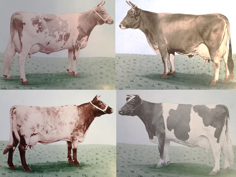 Breeds have changed over time due to selection for animals that produced more milk, had fewer issues related to feet and legs, and could consume more feed. These cattle 60-70 years later would be considered poor representatives of their breeds.