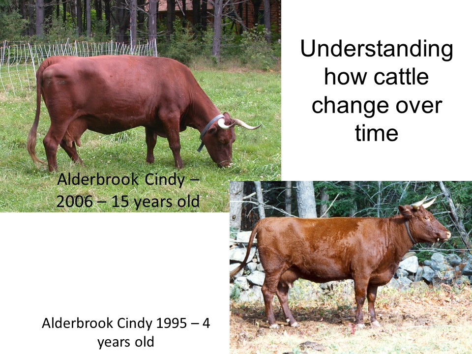 What happens to a cow as she ages? She becomes deeper in the body, the udder drops lower, the teats become larger, and they often dip more in the loin, as with this cow after 11 calves in 13 years.