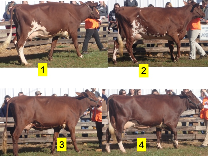 This is another practice class of Milking Shorthorn 3 year olds. Use this image and the one below to place the class and generate a set of reasons.