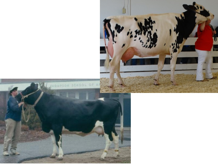 These two cows differ significantly in the category of frame, what terms could be used to describe each cow?
