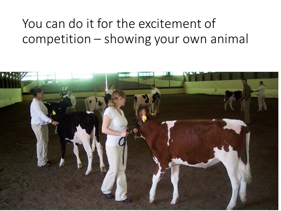 Youth and adults enjoy the challenges and rewarda of exhibiting dairy cattle.
