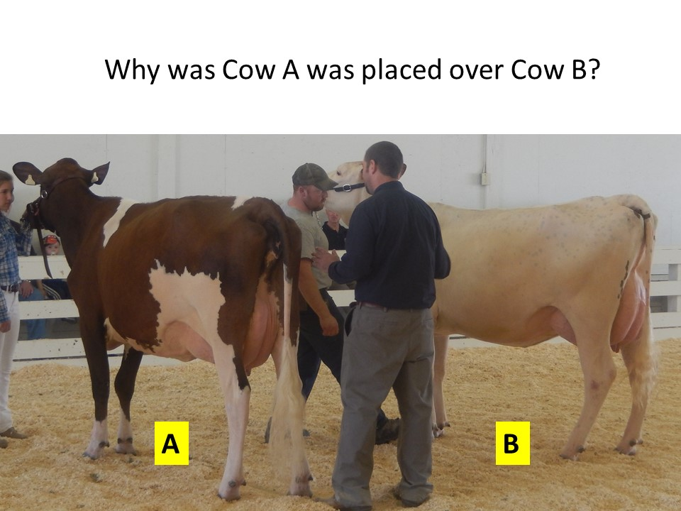 The judge compares the qualities of each cow, based on the criteria set in the PPDCA Unified Scorecard