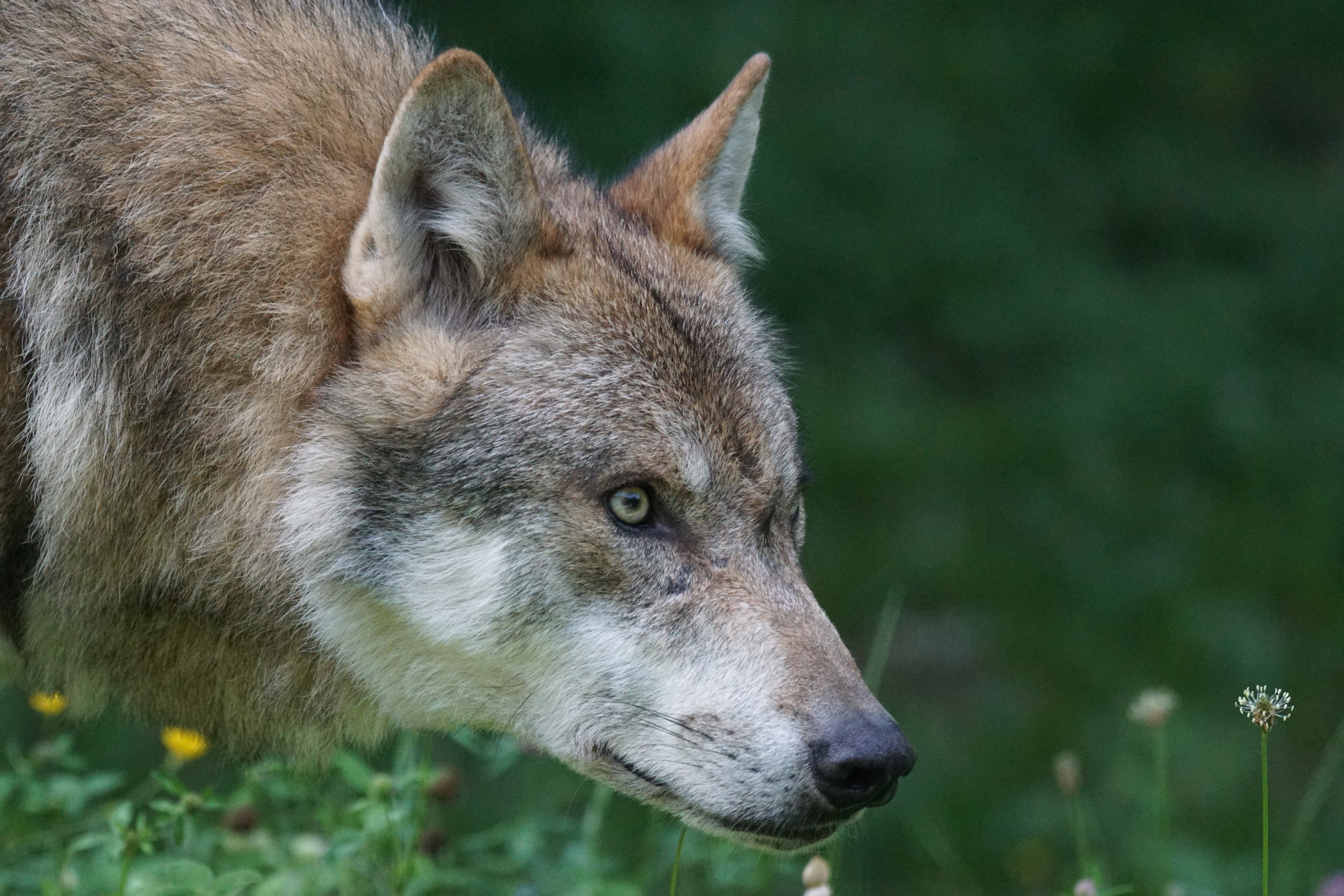 Profile of a wolf's head starting intently to the right.
