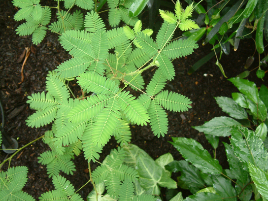 Figure 1.11. The leaves of this sensitive plant (Mimosa pudica) will instantly droop and fold when touched. After a few minutes, the plant returns to normal. (credit: Alex Lomas)