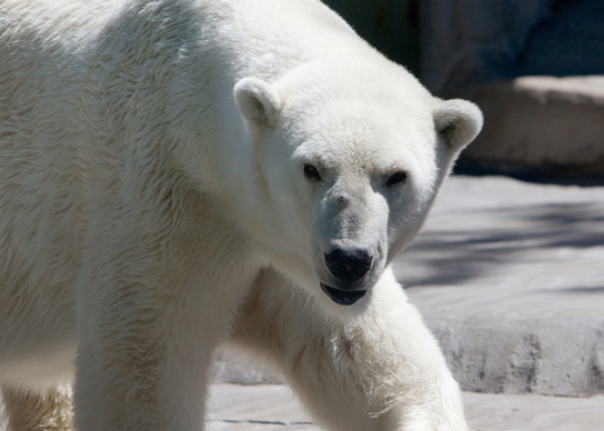 "Figure 1.13 Polar bears (Ursus maritimus) and other mammals living in ice-covered regions maintain their body temperature by generating heat and reducing heat loss through thick fur and a dense layer of fat under their skin. (credit: ""longhorndave""/Flickr)"