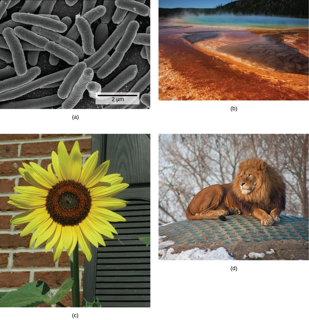 Figure 1.18.  These images represent different domains. The (a) bacteria in this micrograph belong to Domain Bacteria, while the (b) extremophiles (not visible) living in this hot vent belong to Domain Archaea. Both the (c) sunflower and (d) lion are part of Domain Eukarya. (credit a: modification of work by Drew March; credit b: modification of work by Steve Jurvetson; credit c: modification of work by Michael Arrighi; credit d: modification of work by Leszek Leszcynski)