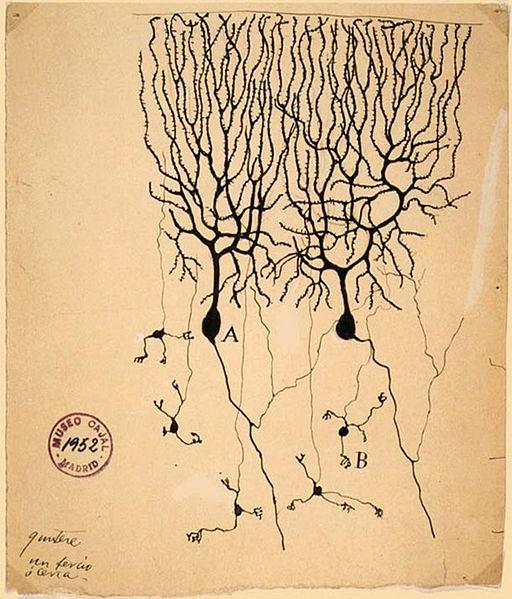 Neurones del cerebel dibuixades per Santiago Ramón y Cajal al 1899