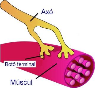 Les neurones motores duen impulsos nerviosos cap als músculs que, en resposta a aquests estímuls, es contrauen. Font: http://www.ck12.org/biology/Nerve-Cells/lesson/Nerve-Cells/
