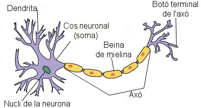 Font: http://commons.wikimedia.org/wiki/File:Neuron_labels_ca.png