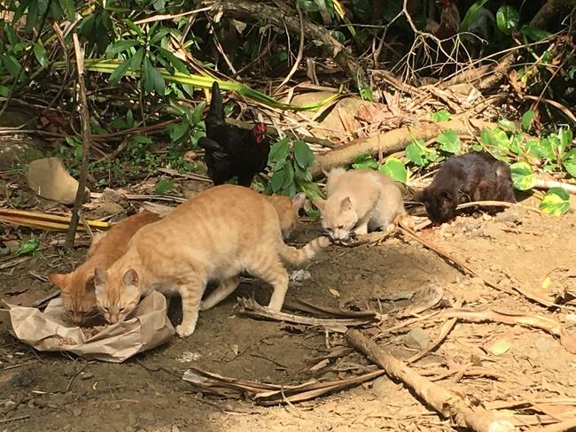 Feral cats at Kaumahina State Wayside Park, Maui Hawaii