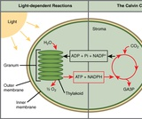 Biology, The Cell, Photosynthesis, Overview of Photosynthesis