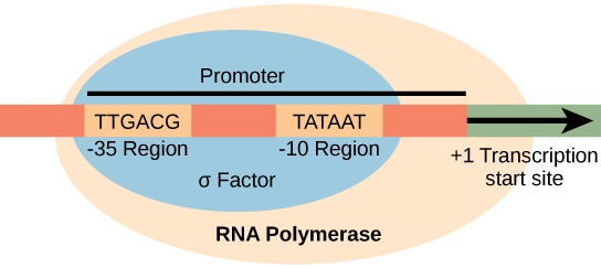 Prokaryotic Transcription